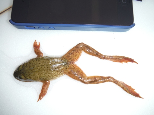 iPhone5-sized frog (with flash)
